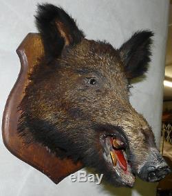 Old Hunting Trophy Sanglier 6kg480